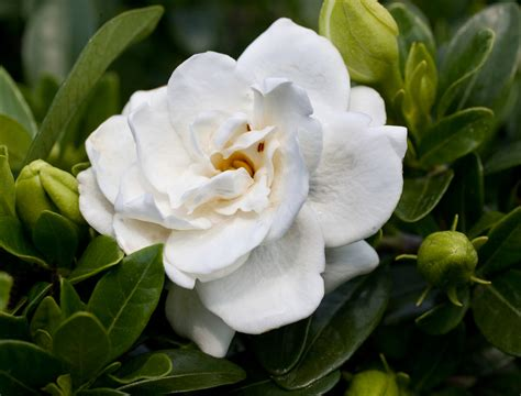 high c gardenias gardenia crown jewel planthaven international