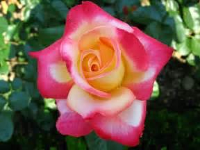 hybrid tea rose flowers pinterest