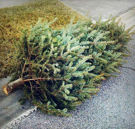 no christmas tree pick up city of san antonio zars
