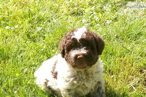 lagotto romagnolo puppies for sale lagotto romagnolo puppy for sale near binghamton new york e884fd77 f151
