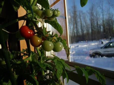 light for plants in winter grow a tomato plant indoors in winter