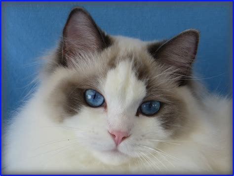 a ragdoll kitten our ragdoll cats