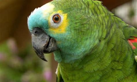 imagenes de loritos verdes loro del amazonas hogarmania
