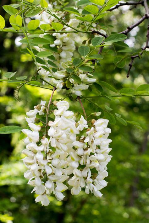 fiori acacia tempura di fiori di robinia e di sambuco