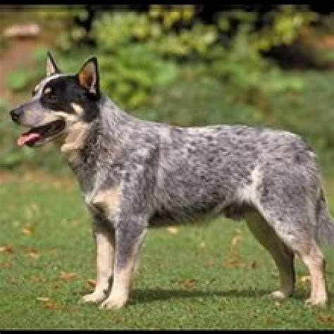 blue heeler puppies for sale in nc blue heelers for sale in nc myideasbedroom
