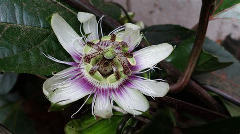 fiore frutto della passione immagini fiorire frutta botanica flora frutto