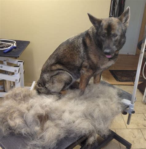 German Shepherd Shedding Problems by Best 25 German Shepherd Shedding Ideas On