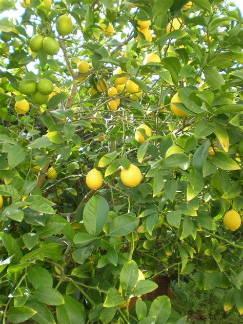 citrus fruit tree squeeze growing citrus trees hgtv