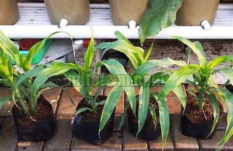 Beris 2 Biji Benih Jagung Mix 12 tahap mudah menanam jagung di pot polybag agar subur