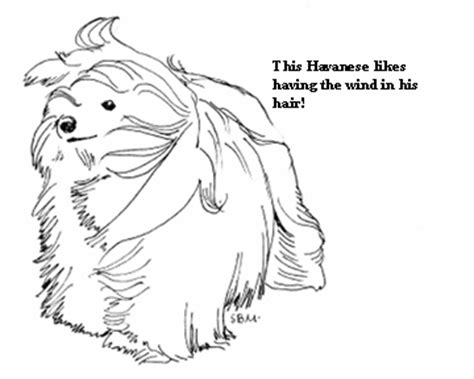 havanese dog coloring page havanese coloring pages galore