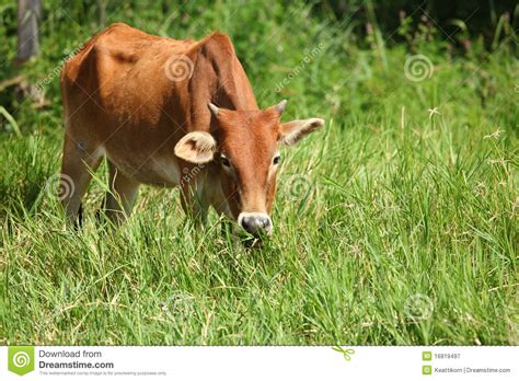 eats grass cow grass royalty free stock photography image 16819497