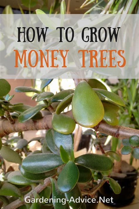 Housekeeping Tips money tree plant care how to look after your jade plant