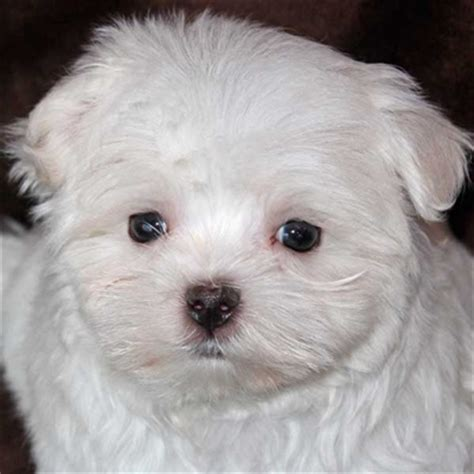 heavenly puppies maltese puppy for sale in boca raton south florida