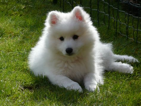 how to a spitz japanese spitz pictures posters news and on your pursuit hobbies