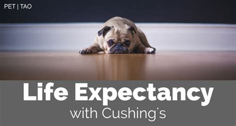 cushing s disease dogs what is the canine cushing s disease expectancy