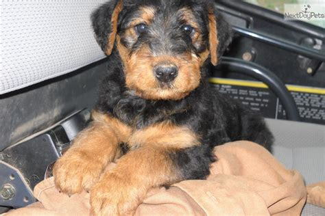 airedale puppies for sale ohio airedale terrier breeders in ohio airedale terrier puppies for sale in breeds