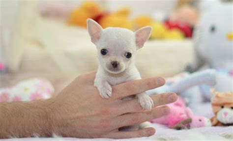 free chihuahua puppies in pa this is willow a beautiful teacup chihuahua puppy view profile at http www