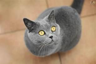 The UK's Top 10 Most Popular Cat Breeds | Pets4Homes Bestofcats
