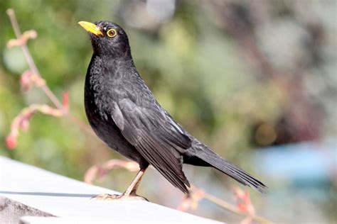 Eurasian Blackbird New Zealand Birds Online Black Bird