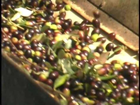 olive oil encyclopedia food network a terms food from olives to olive oil the italian way