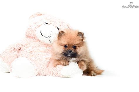pomeranian ohio pomeranian puppy for sale near columbus ohio d7f563a9 0291