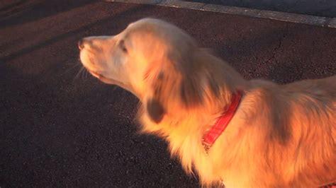 golden retriever imitates siren golden retriever imitates an ambulance siren most watched today