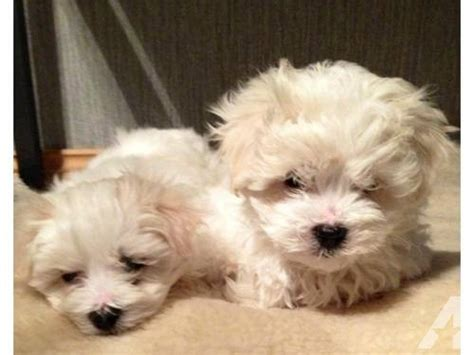 maltese puppies for sale in nj maltese puppies for sale for sale in clifton new jersey classified