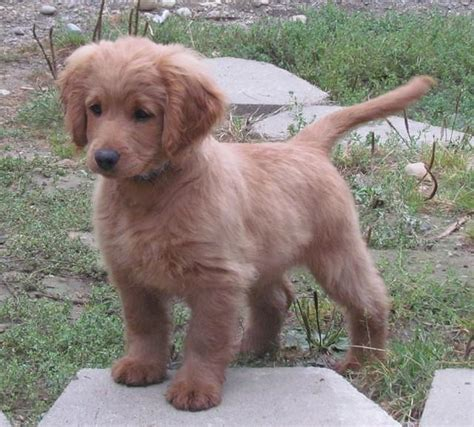 that looks like a puppy forever golden cocker retriever grown a puppy that looks like a puppy forever i