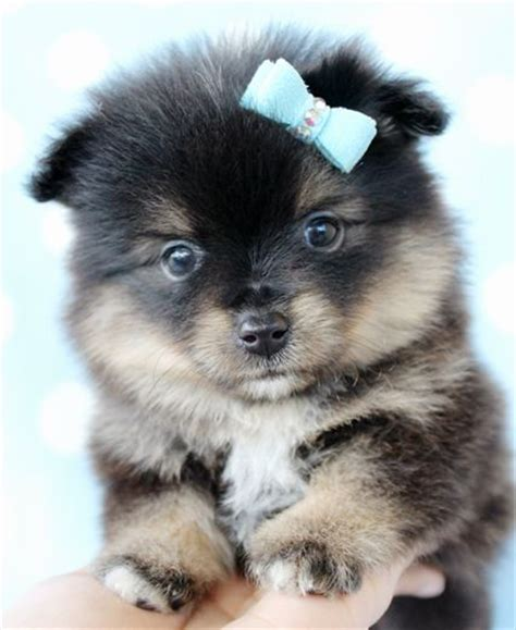 what do pomeranians look like teacup pomeranian looks like a pomsky breeds picture