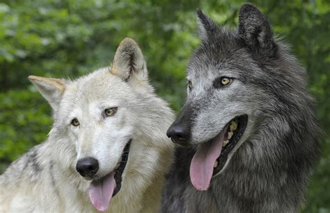 are wolves dogs myth of tolerant dogs and aggressive wolves refuted