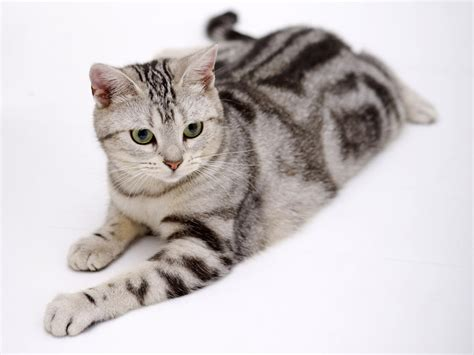 friendly breeds 10 friendly cat breeds for houses list visit imgstocks