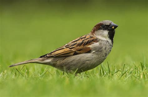 Sparrow Pictures house sparrow new zealand birds