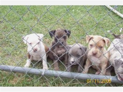 pitbull puppies nc marion nc pit bull terrier meet pandy a for adoption dipoindexing