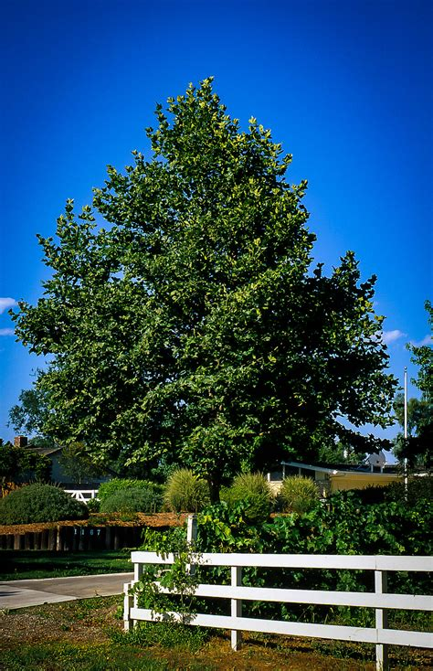 bloodgood sycamore trees  sale  tree center