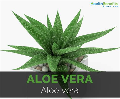 aloe vera facts aloe vera facts health benefits and nutritional value