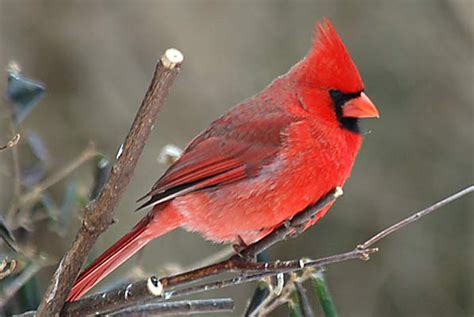 red cardinal wallpaper wallpapersafari