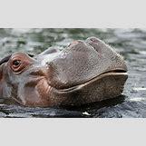 Hippopotamus Face In Water   620 x 380 jpeg 49kB
