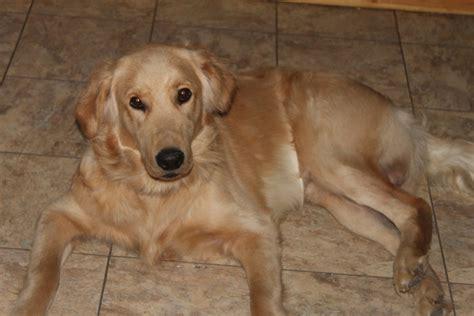 75 golden retriever 25 poodle goldendoodle 75 golden retriever assistedlivingcares