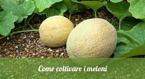 coltivare meloni in vaso come coltivare i meloni orto24