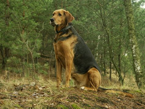 pictures of hound dogs hound in the forest photo and wallpaper beautiful hound in the