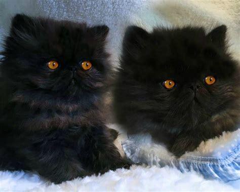 persiani vendita cuccioli di gatto persiano nero vendita gattino persiano