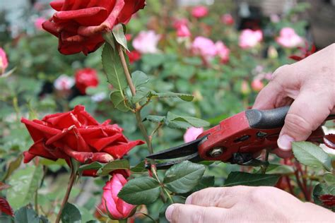 deadheading roses gulley greenhouse