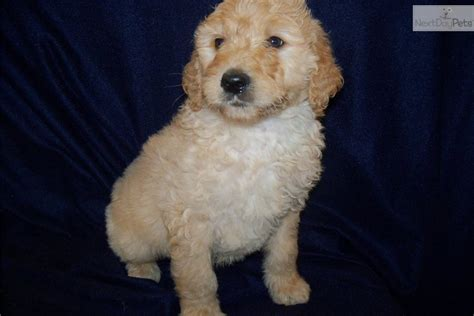 goldendoodle puppy behavior problems goldendoodle for sale for 800 near joplin missouri