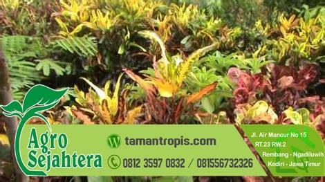 Jual Bibit Bunga Jakarta jual tanaman hias bunga puring jakarta