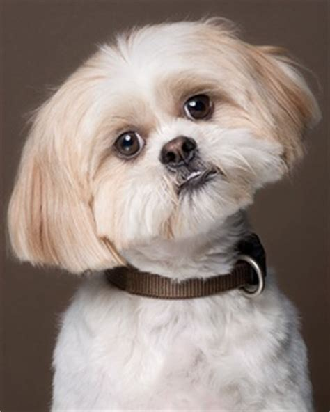 characteristics of a shih tzu temperament and personality of shih tzu dogs many