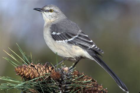 the northern mockingbird mimus polyglottos is the state