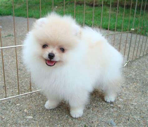 free puppies jonesboro ar lovely pomeranian puppies for sale jonesboro arkansas pets for sale classified ads