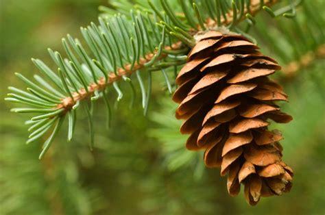 pine cone tree romance and the pine cone moment booktalk