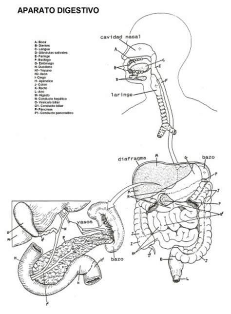 imagenes del sistema digestivo dibujo sistema digestivo para colorear