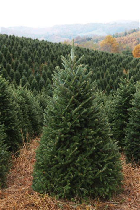 fraser fir xmas tree christmas tree farms in north carolina